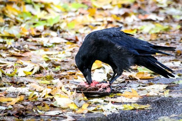 Kraai ontleedt ander gevogelte